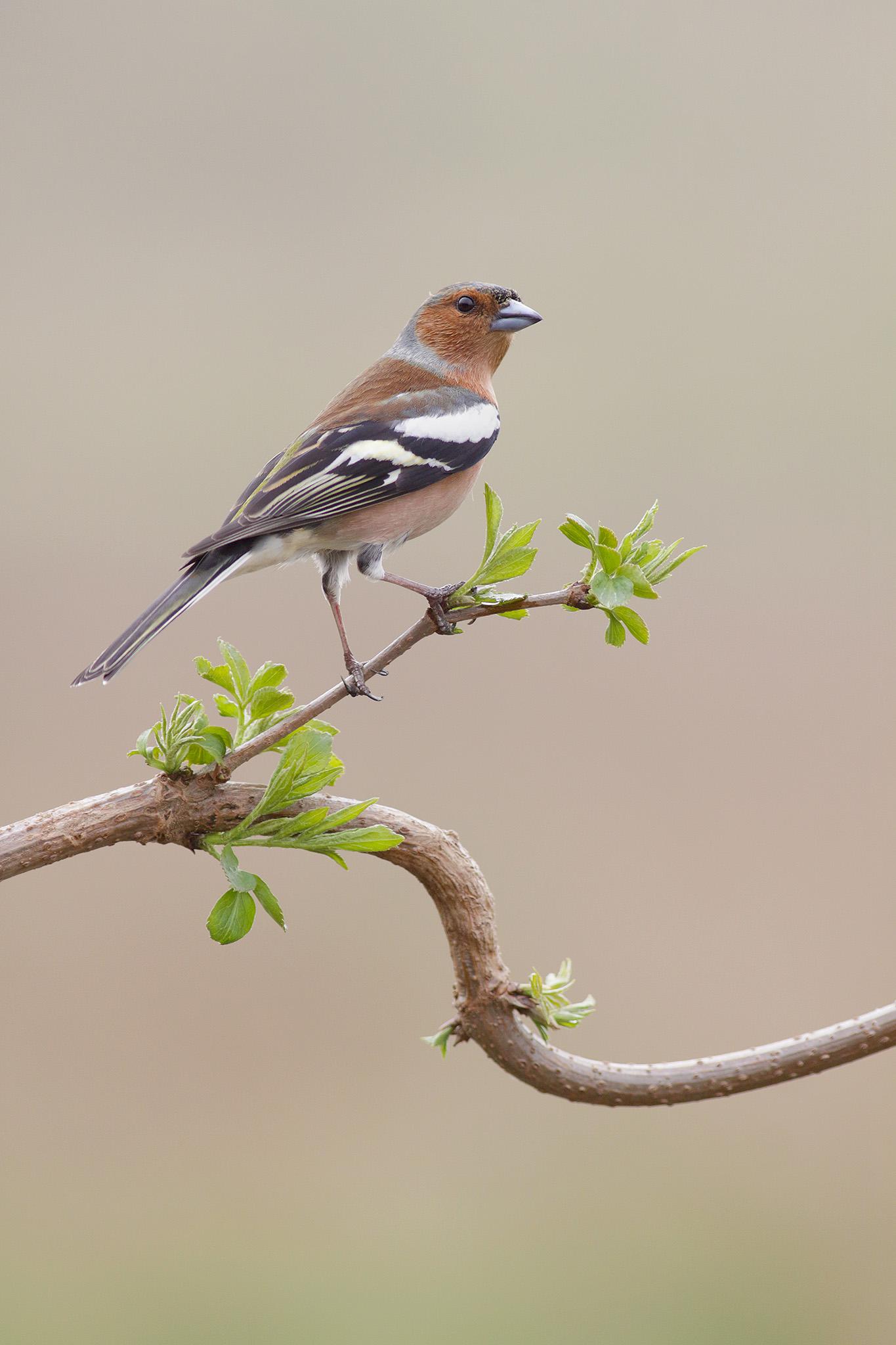 chaffinch spring