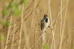 Reed Bunting spring
