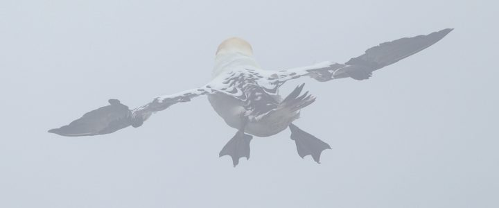 Gannets in the Mist…