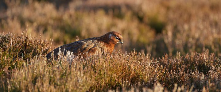 photographing red grouse