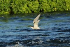 Arctic Tern river