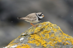 ringed plover photo