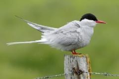 arctic tern ruffling