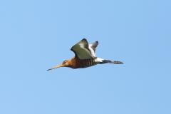 black tailed godwit photo