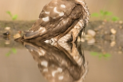 sparrowhawk photo