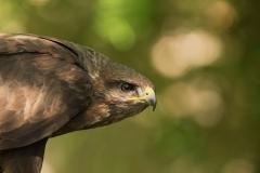 buzzard photo