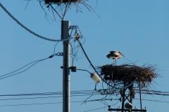 white stork nests