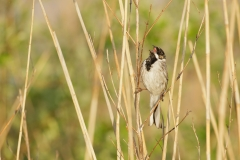 Reed Bunting (Emberiza schoeniclus) adult male singing, perched in reeds, West Yorkshire, England, May