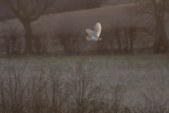 huntingbarnowl