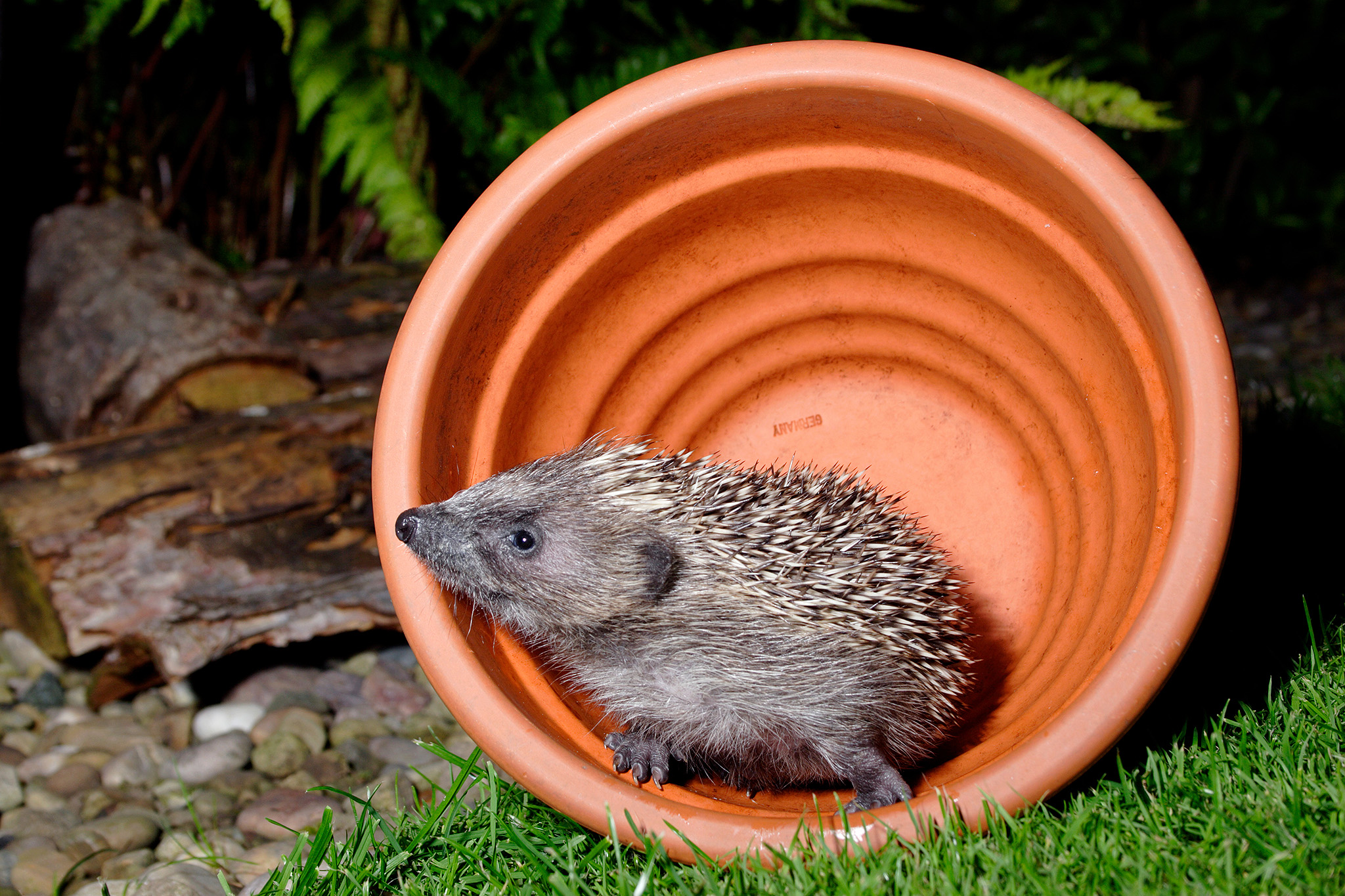 hedgehog in plant pot
