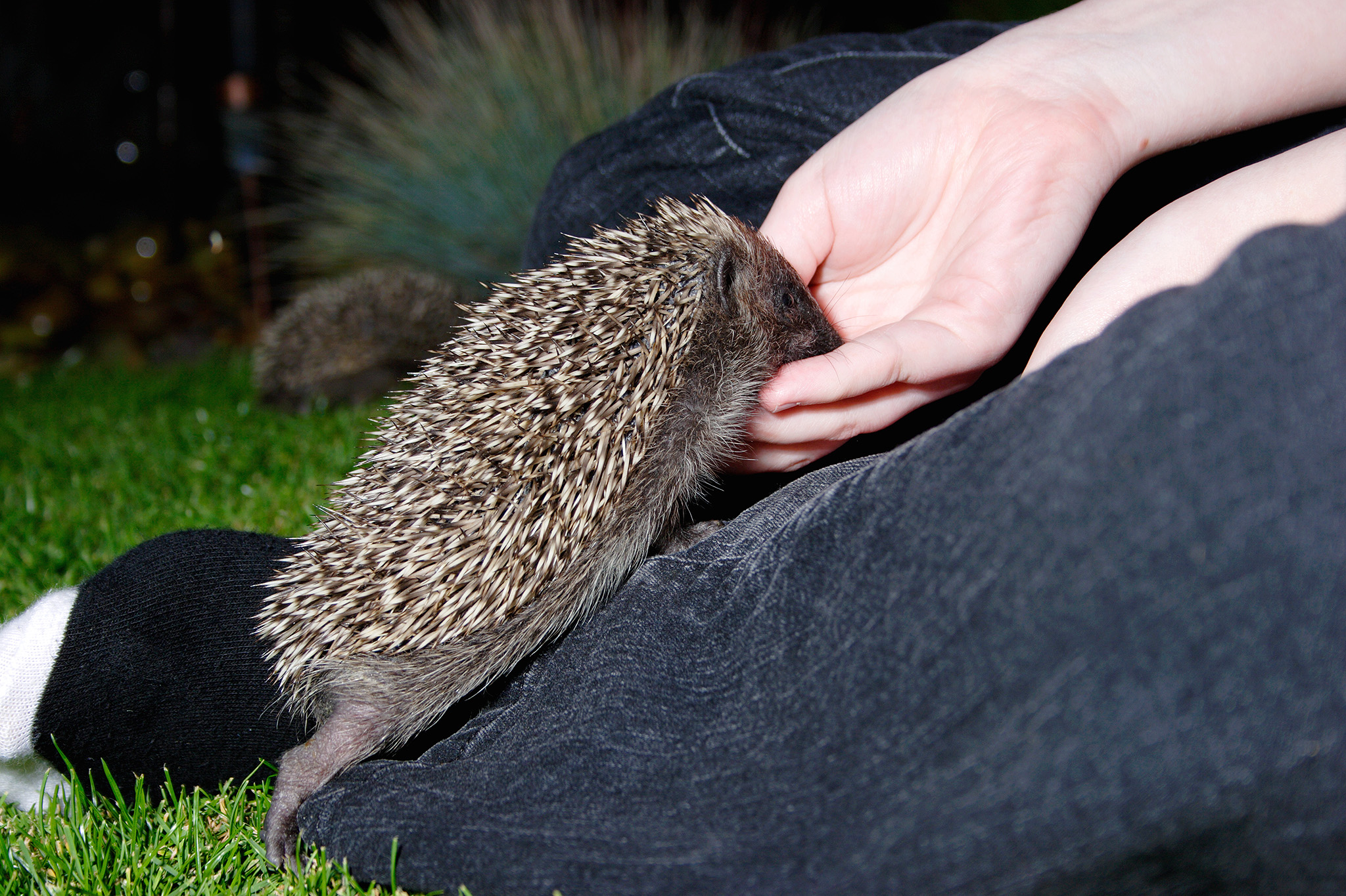 hedgehog being fed