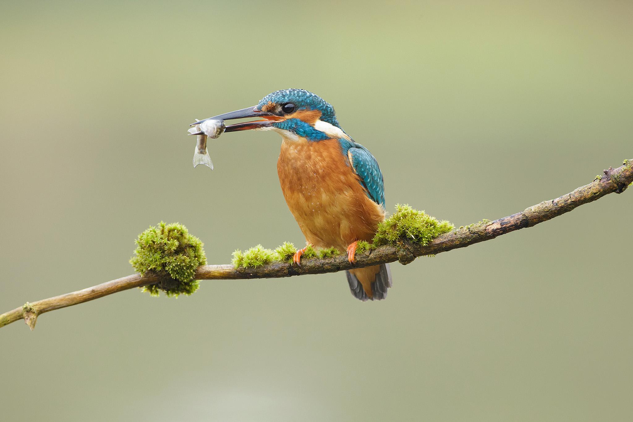 kingfisherengland