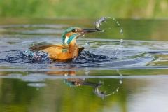 divingkingfisher
