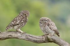 littleowls