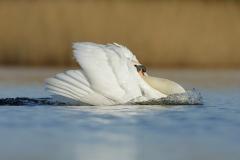 mute swan aggressive male