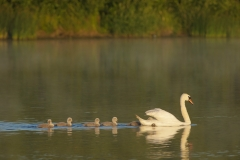 muteswan with babies