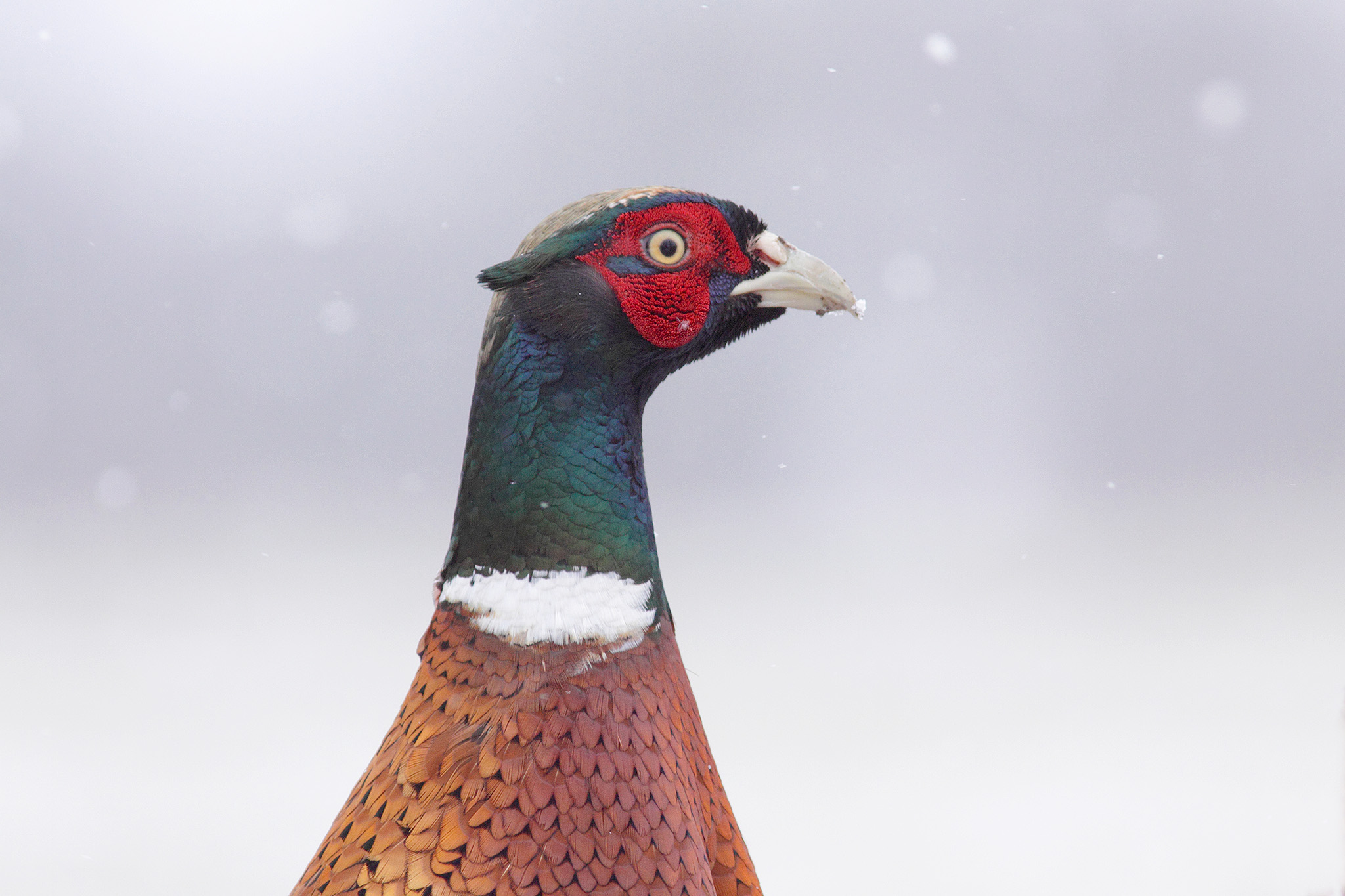 eurasian pheasant
