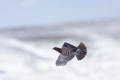 redgrouse in flight