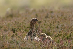 redgrouse with chicks