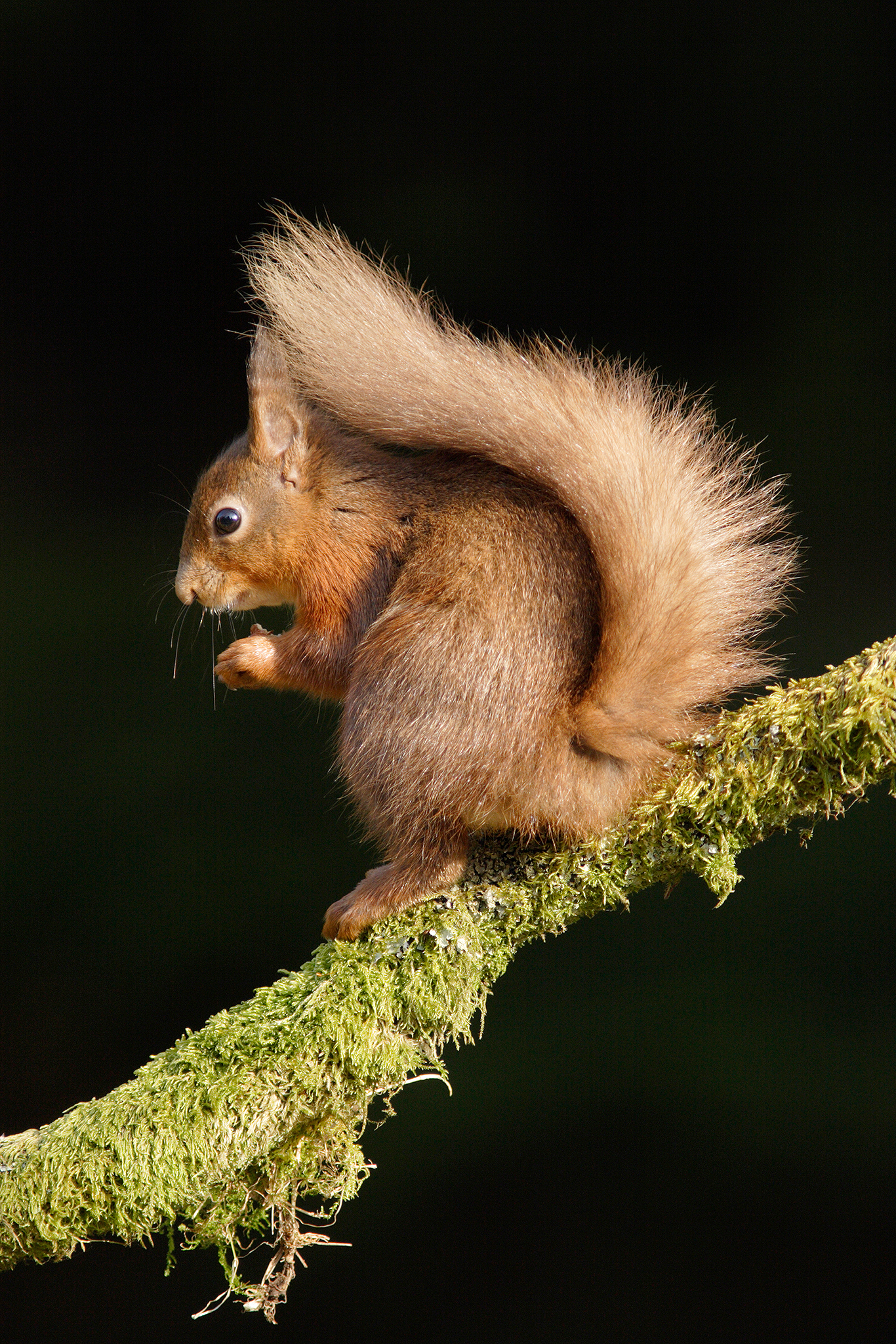 redsquirrelbritish