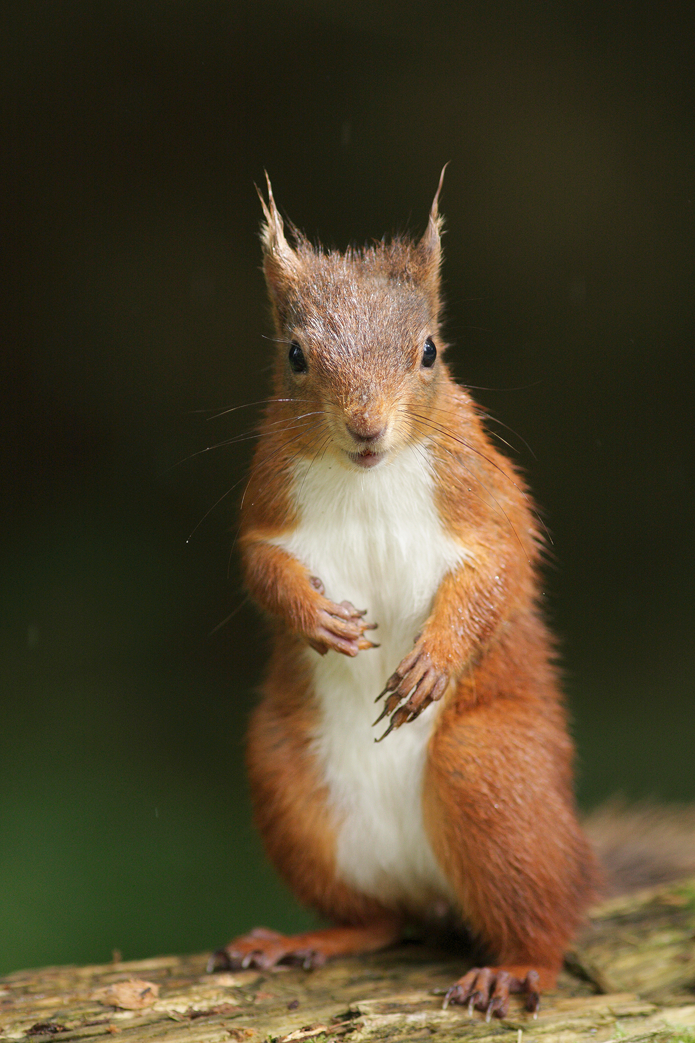 redsquirreleurasian