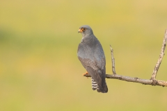 red footed falcon male