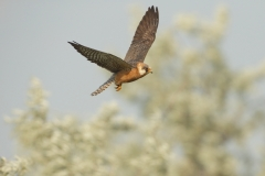 falcon in flight
