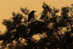 night heron bird