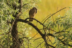 kestrel photo