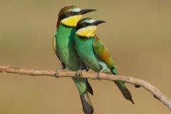 cute bee-eaters