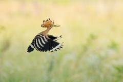 hoopoe flying