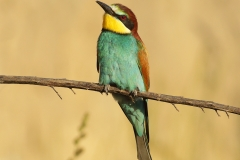 bee-eater photo