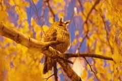 serbian owl