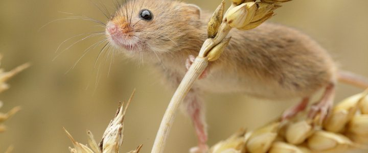 Photographing Harvest Mice
