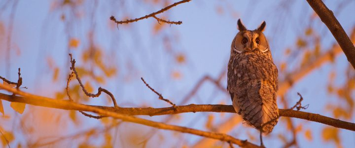 Long Eared Owl Photography